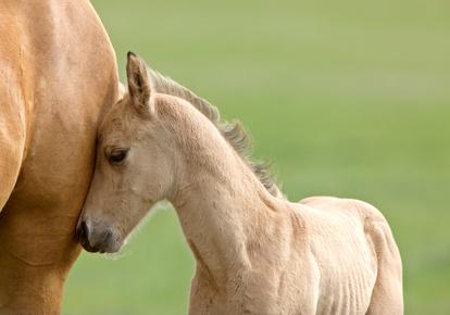 Rind vs. Pferd – Die niedersächsischen Geruchsimmissions-Richtlinie (GIRL)